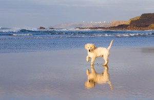 Finlay on a dog friendly beach at Widemouth
