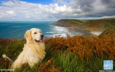 Golden retriever on the cliffs.