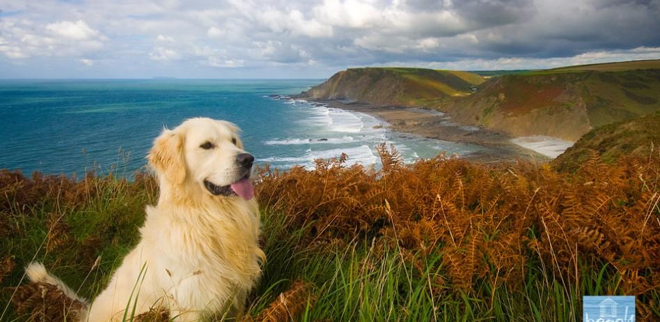 Golden retriever on the cliffs.
