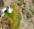 Noisy fulmars nesting on the cliffs at Maer Down