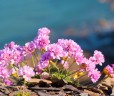 Thrift (Sea Pinks) miraculously growing out of the rock!