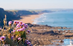 Thrift clinging to the clifftop at Duckpool with the long stretch of sand from Sandymouth to Bude beyond.