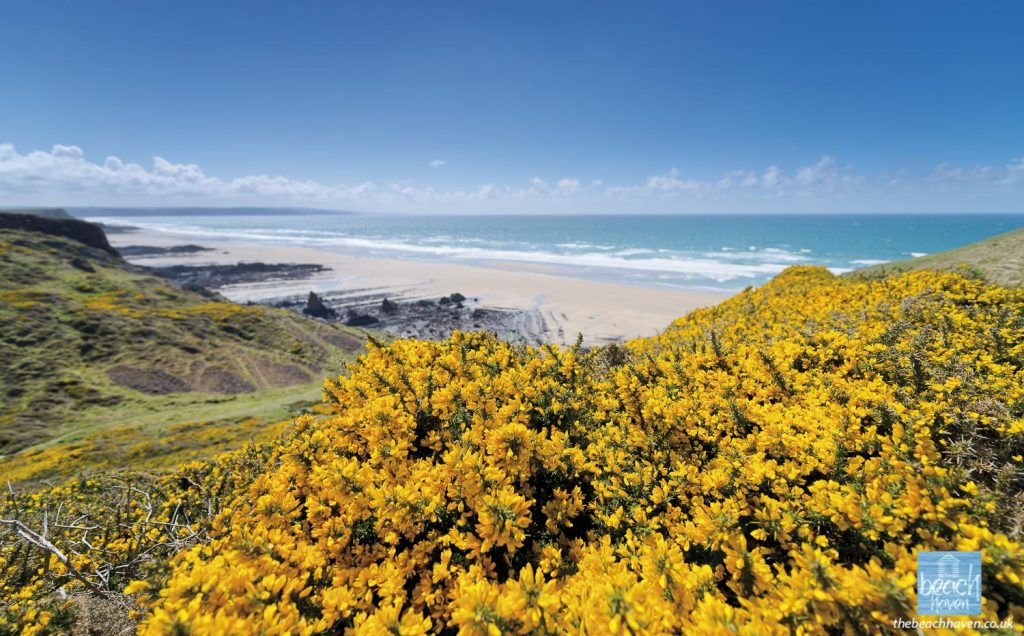 The sweet smell of spring gorse on Maer cliffs